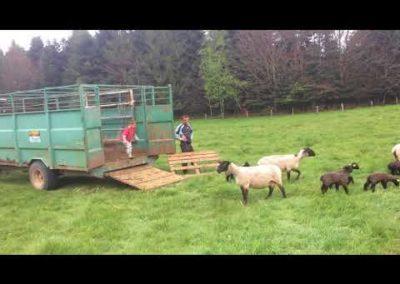 Elevage d'agneaux – Ferme Albrecht