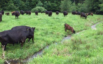Elevage bovin dans les Vosges